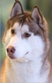 Сколько стоит щенки лабрадора с документами - 074